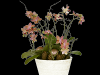 Phalaenopsis-arrangement