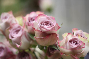 Memory-Lane-Roses